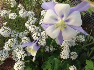 columbine and alyssum